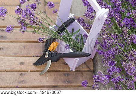Bunch Of Cut Lavender And Pruning Shears Against A Backdrop Of Flowering Lavender Bushes. Gardening
