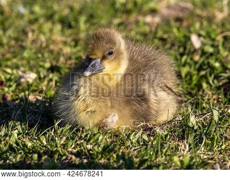 Close Up Of A Beautiful Yellow Fluffy Greylag Goose Baby Gosling In Spring, Anser Anser Is A Species
