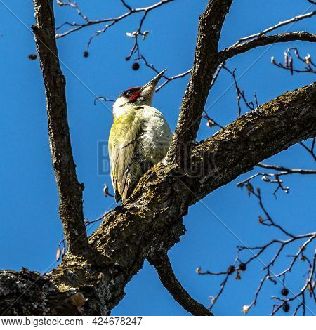 Grey-headed Woodpecker, Picus Canus, Also Known As The Grey-faced Woodpecker. On A Sunny Morning, A