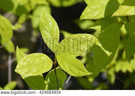 Carolina Allspice Leaves - Latin Name - Calycanthus Floridus