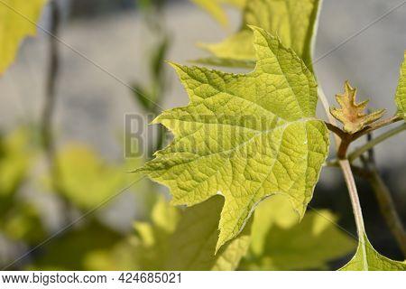 Oakleaf Hydrangea - Latin Name - Hydrangea Quercifolia