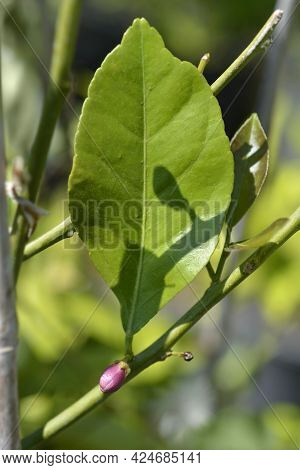 Lemon Flower Bud And Leaf - Latin Name - Citrus Limon