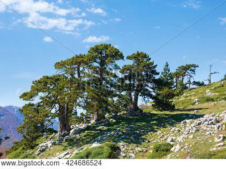 Bosnian pines ( Pino Loricato) on top of Serra di Crispo mountain (So called Garden of Gods ), Pollino National Park, southern Apennine Mountains, Italy.