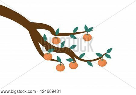 Persimmons On Tree Branch - Several Bright Orange Persimmons Hanging From Tree Branch