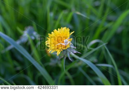 Predatory White Spider Catches Insect Prey On Yellow Dandelion Flower.