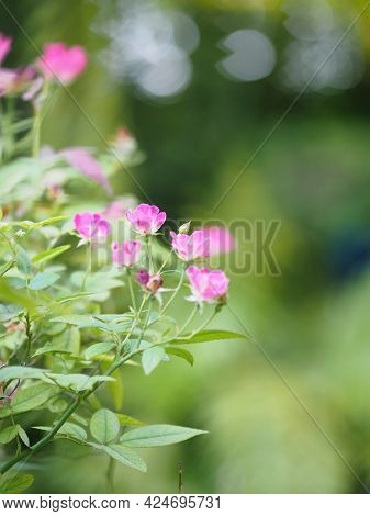 Pink Color Flower Blooming In Garden Blurred Of Nature Background, Copy Space Concept For Write Text