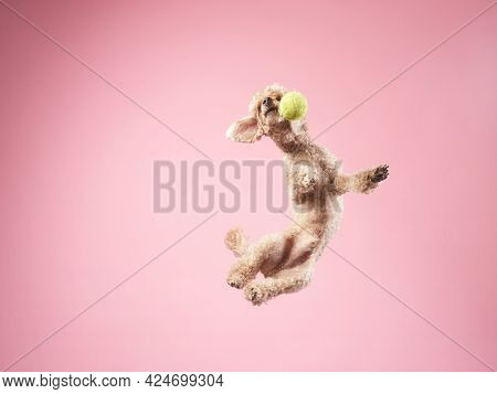 Funny Active Dog Jumping With Ball. Happy Small Poodle On Pink Background