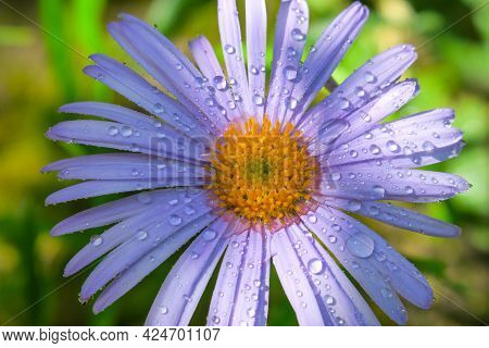 Beautiful Purple Flower With Dewdrops In The Garden