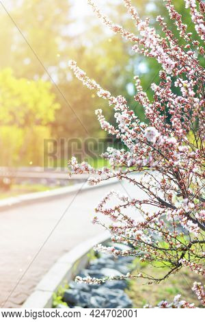 Bushes Of Flowering Almonds In The Park On A Sunny Spring Day. Bokeh, Selective Soft Focus, Blurred
