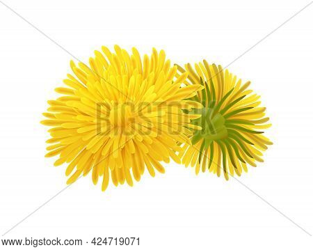 Front And Back View Of Realistic Dandelion Flower Vector Illustration