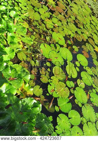 Background Of Water Lilies And Koi Fish In Tropical Garden Of The French West Indies. Water Lily Lea