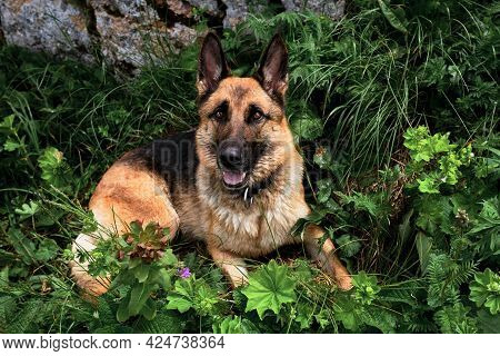 Cute Friendly Purebred Dog In Tall Green Grass Is Enjoying Life And Walking. Charming Black And Red