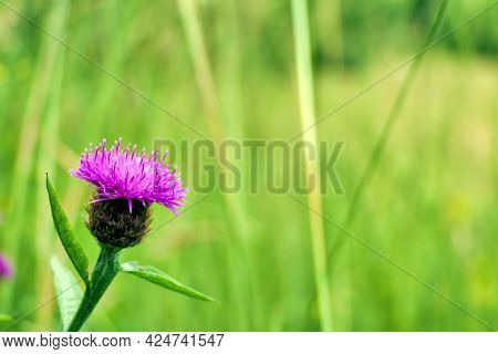 Soft Focus Close Up Of A Common Knapweed (centaurea ) Also Known As Black Knapweed Or Hardheads, Gro