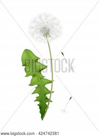 Realistic White Dandelion With Green Leaf And Flying Seeds Icon Isolated Vector Illustration