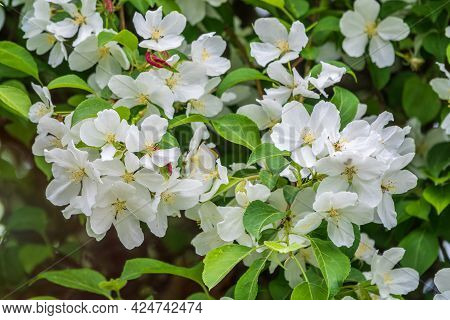 White Blossoming Apple Trees. White Apple Tree Flowers