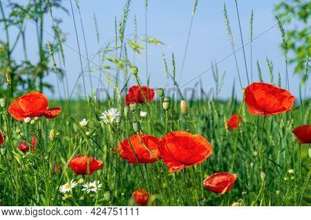 Red Poppies And Chamomiles With Green Grass In The Meadow. Summer Wildflowers Meadow Flowers On A Ba