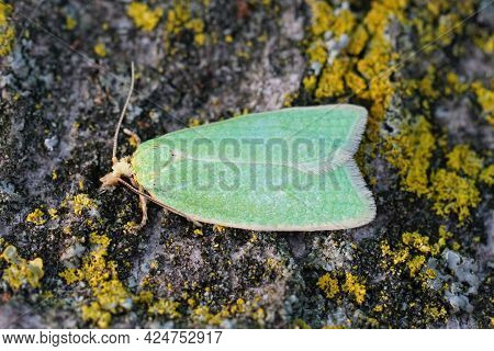Closeup On The Small Green Oak Moth, Tortrix Viridana