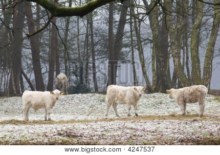 Natural grazing cows in forest with winter time poster