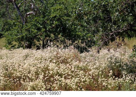 Buckwheat Plant Flower Blossoms During Spring On A Drought Tolerant Field Surrounded By A Chaparral