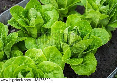 Fresh Organic Green Cos Lettuce Growing On A Natural Farm. Photosynthesis Salad Vegetables On The So