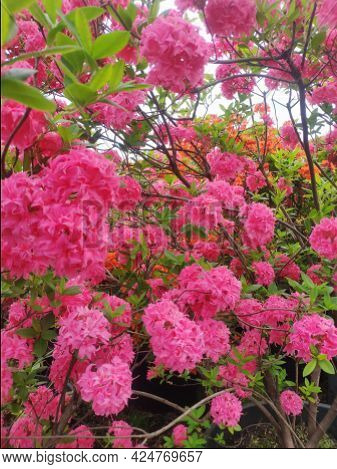 Beautiful Blooming Rhododendron. Flowers Background. Large Pink Flowers In The Garden Close Up