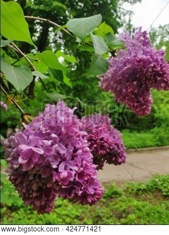 Blooming Branches Of Double Lilac. A Spring Lilac Bush Is Blooming Brightly. A Bouquet Of Lilac Flow