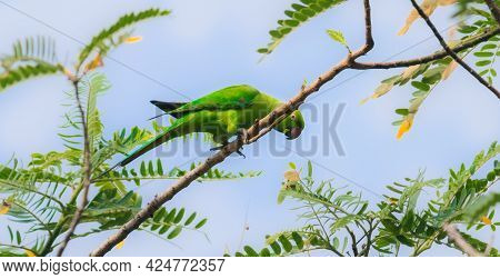 Rose-ringed Green Parakeet Eating Seeds And Leaves View From A Low Angle.