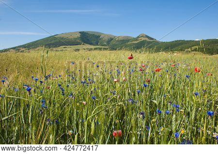 Panoramic View Of Wheat Field With Poppies And Cornflowers Near Annifo Mountain Village In Umbria