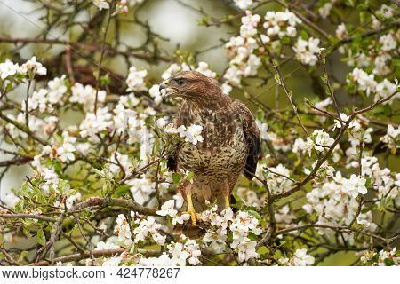 Close-up Of A Buzzard Bird Of Prey Sitting In A Fruit Tree. The Apple Tree Is Full Of White Blossom.