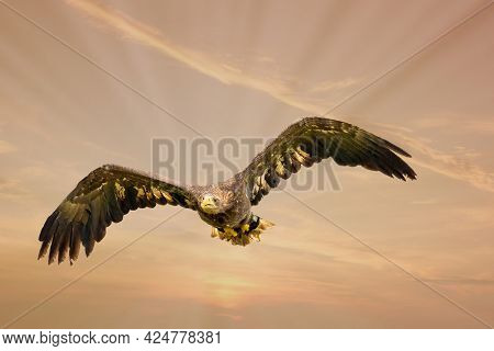 European Bald Eagle Flies In A Dramatic Brown Gold Colored Sky. Flying Bird Of Prey During A Hunt. O