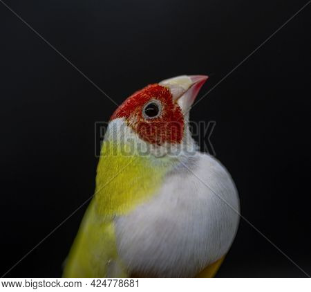 Gouldian Finch Series. Yellow, With A Red-head And White Breasts, Male. On A Black Background. Close