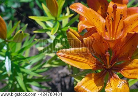 Fiery Orange Tiger Garden Lilies Close Up With Place For Text. Bright Orange Lily Flowers. Beautiful