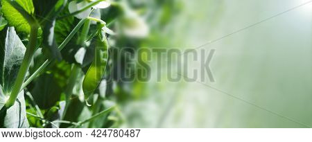 Banner With Pod Of Green Peas Growing In Garden On Farm With Place For Text. Gardening Background Wi