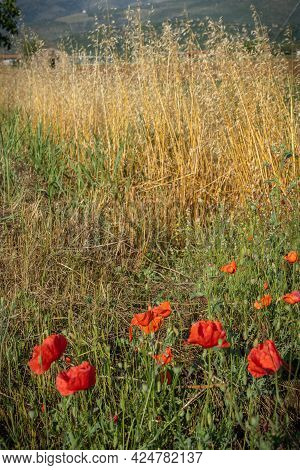 Field With Blooming Poppies And Spikelets At Sunset In Province Of Latina, Lazio, Italy