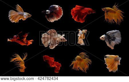Set Of Betta Fish, Siamese Fighting Fish Dancing Isolated On Black Background In Thailand. Animal In