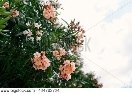 Blooming Branches Of Oleander On A Background Of Blue Sky