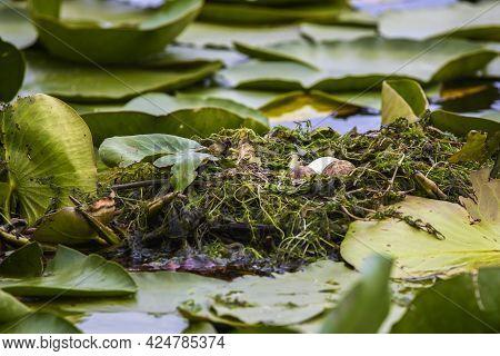 Nest With Eggs Of Some Birds (stern Hirundo) On Vegetation In The Danube Delta.