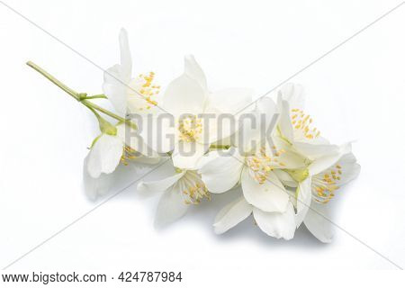Blooming jasmine flowers isolated on white background. Macro picture of jasmine petals and stamens.