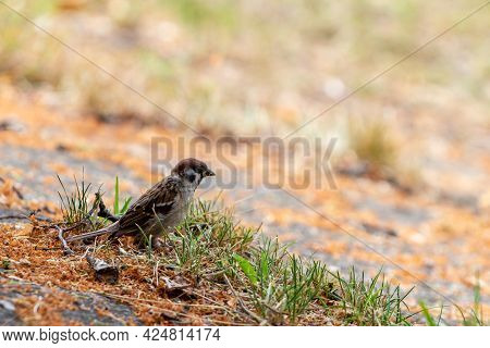 Young House Sparrow (passer Domesticus) Is Standing On Tilted Concrete Covered With Grass And Orange