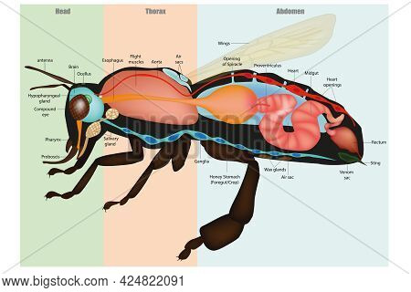 Honey Bee Apis Mellifera, Internal Anatomy And Physiology. Model Eusocial Insect. Bee Sectional Anat