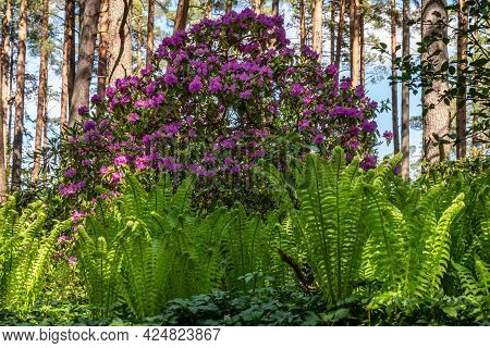 Pink Rhododendron Bush Among Wood Ferns Under The Pine Trees During Bright Sunny Spring Day. Low Ang