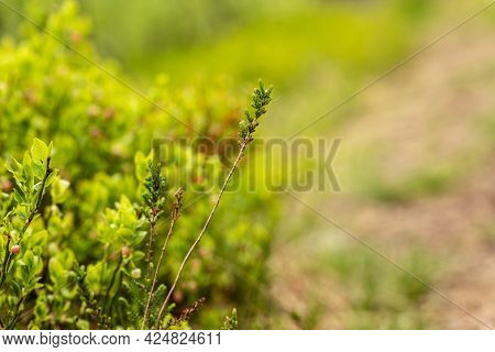 Bright Green Close-up Photo Of Branch Of Common Heather (calluna Vulgaris) And Red Whortleberry (vac