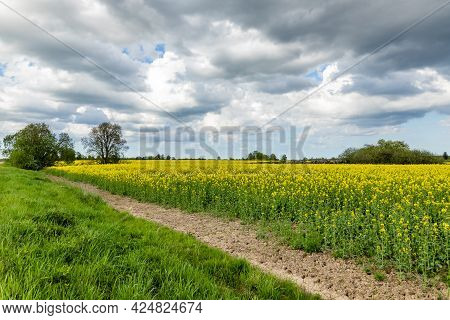 Field Of Bright Yellow Oil Seed Rape Plants Having A Tree, Forest Rocks During Cloudy Day At Latvia