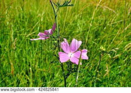 Close Up Of The Wild Flower Musk-mallow (malva Moschata) In A Hay Field