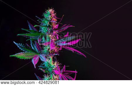 Purple Green Marijuana Plant On Black Background. Colored Neon Large Leaves And Buds Of Cannabis Hem