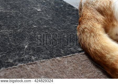 Cat Hair On Rug Or Carpet.  The Concept Of How To Remove Pet Hair On The Carpet.
