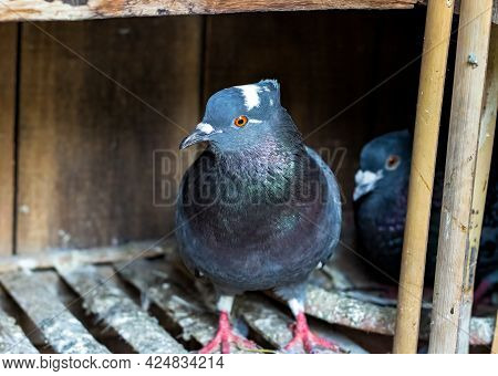 A Female Pigeon Standing Inside Of A Loft In Front Of Her Nest