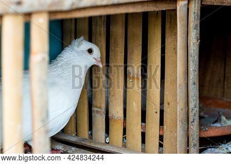Beautiful White Pigeon Close Up Inside Of A Loft