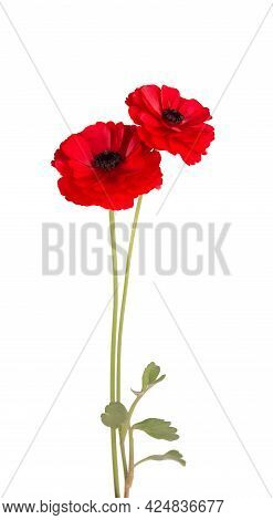 Red Ranunculus Asiaticus Flower Isolated On White Background. Persian Buttercup. Beautiful Summer Fl