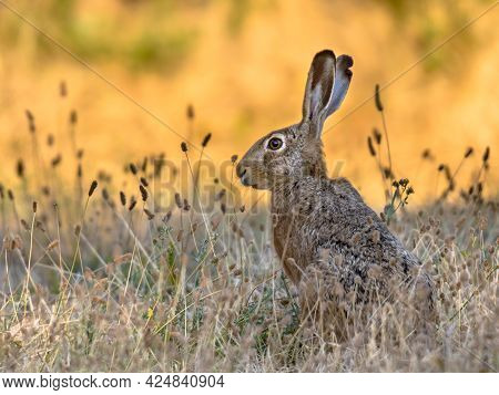 Lepus. Wild European Brown Hare (lepus Europeus) Close-up On Orange Background. Wild Hare With Yello